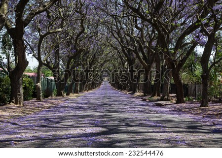 Suburban road with line of jacaranda trees and small flowers making a carpet - stock photo