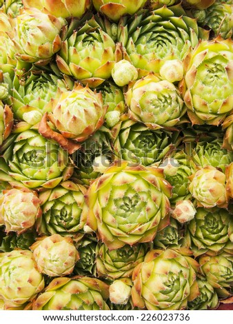 Succulent - stock photo