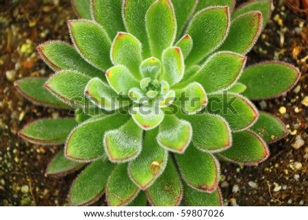 Succulent (blooming cactus) - stock photo