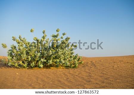 Succulent bush in the desert in the United Arab Emirates - stock photo