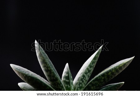 succulent - Gasteria gracilis in the dark  - stock photo