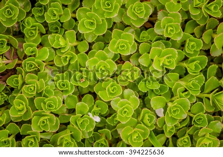 succulent moss close up in a summer city park. - stock photo