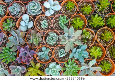 Succulent nursery, Thailand - stock photo