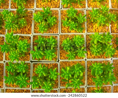 Succulent nursery,Thailand - stock photo