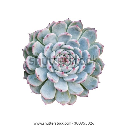 Succulent on White - stock photo