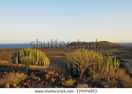 Succulent Plant Cactus on the Dry Desert at Sunset - stock photo