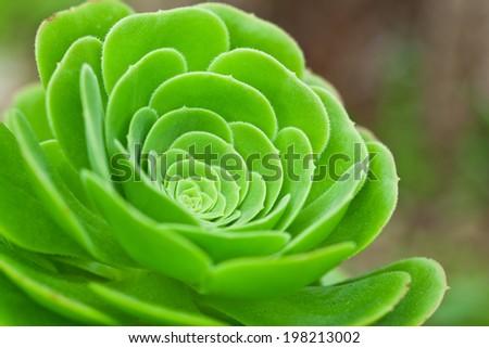 succulent plant closeup - stock photo