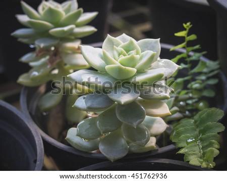 Succulent plant, Echeveria Subsessilis - stock photo