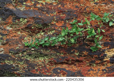 Succulent plant growing in mountains. Rock face found on high elevation in Alps mountains colored and textured by various fungi , lichen and mosses  - stock photo