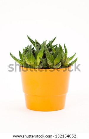 succulent plant in the orange flower pot - stock photo