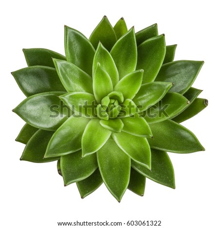 Succulent Plant Top View Isolated On White Background Echeveria