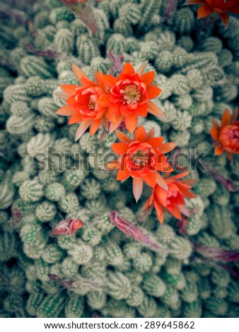 Succulent red flowers close up - stock photo
