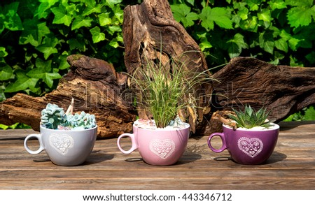 Succulents are potted in coffee cups standing on a table, with decorative wooden roots. - stock photo