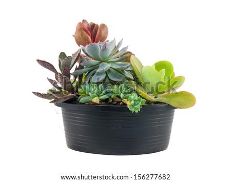 Succulents : Echeveria, Crassula, Sedum : Mixed of beautiful succulents in the plastic pot - stock photo