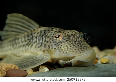 Sucker fish stock images royalty free images vectors for Sucker fish food