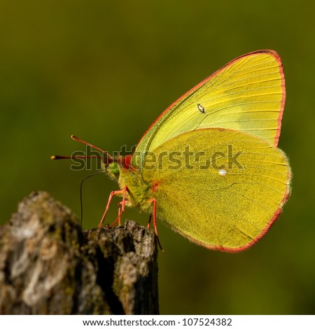 Sucking butterfly - Moorland Clouded Yellow