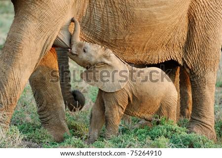 Suckling Baby African Elephant (Loxodanta africana) - stock photo