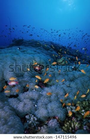 SUDAN, Red Sea, U.W. photo, tropical Anthias (Pseudanthias squamipinnis) and soft corals - stock photo