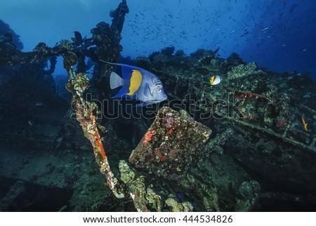 SUDAN, Red Sea, U.W. photo, Umbria wreck, tropical Angelfish (Pomacanthidae) - FILM SCAN - stock photo