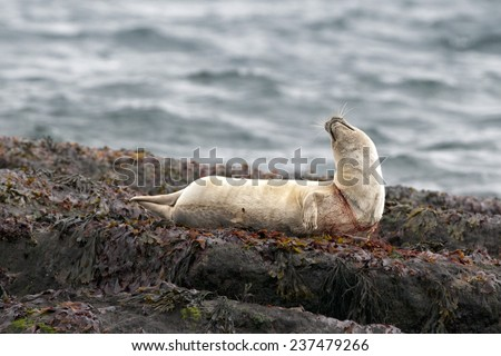 Suffering Harbor seal trapped in fishing net asking for help - stock photo