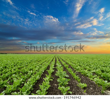 Sugar beet crops field, agricultural landscape - stock photo
