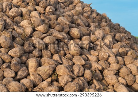 Sugar beet pile in close up; raw food material for sugar production - stock photo