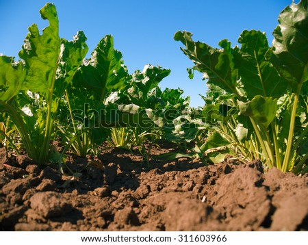 Sugar beet plants rows. Worm's view  - stock photo