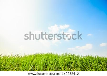 sugar cane farm with blue sky - stock photo