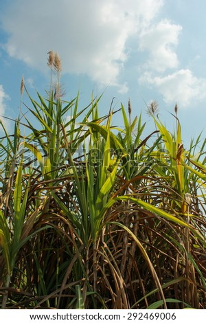 Sugar cane field with blue sky, Thailand - stock photo
