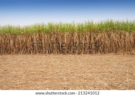 Sugar cane field with sky. - stock photo