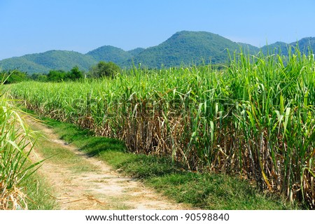 Sugar cane fields - stock photo