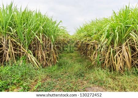Sugar cane fields in Thailand - stock photo
