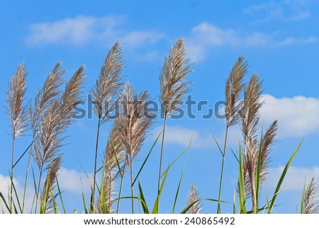 sugar cane flower leaves on blue sky background - stock photo