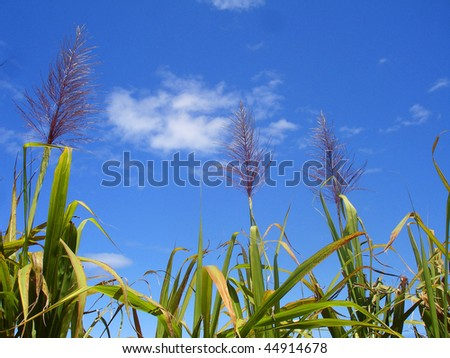 Sugar cane flowers - stock photo