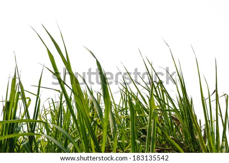 Sugar cane green leaf with isolated on a white background  - stock photo