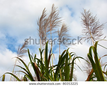 sugar cane in flower ready for harvest with a cloudy sky in the background - stock photo