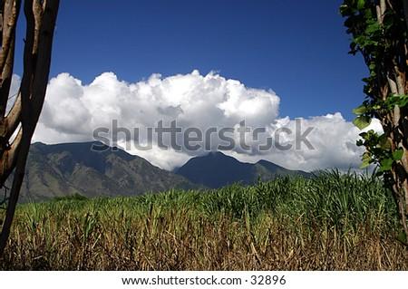 Sugar Cane View - stock photo