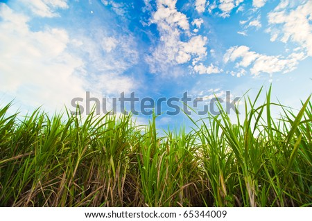 Sugar cane with blue sky - stock photo