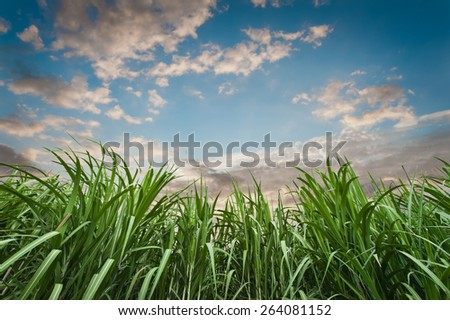 Sugar cane with sky - stock photo