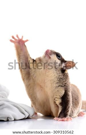 Sugar glider Australia animal hand up cute action - stock photo