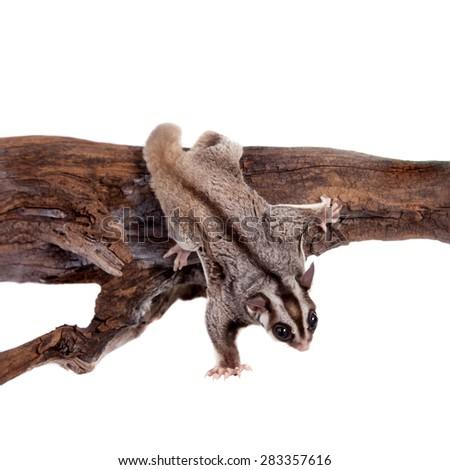 Sugar glider, Petaurus breviceps, on white - stock photo