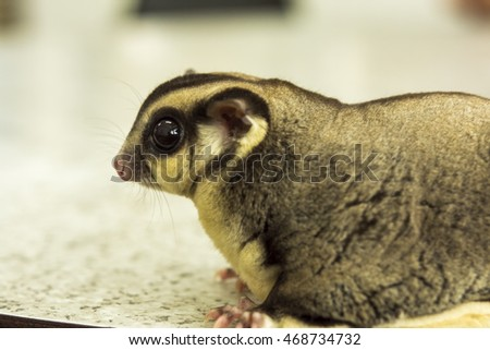 sugar glider selective focus eyes