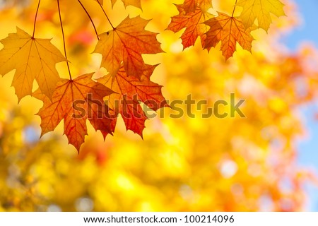 Sugar maple leaves in autumn - stock photo