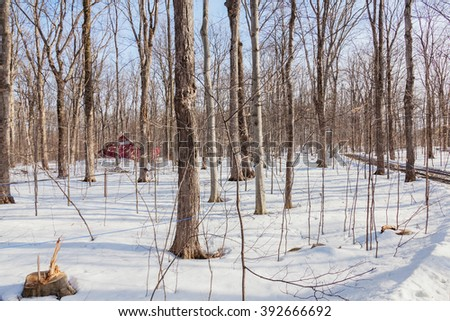 Sugar maples with holes and pipes for collecting maple syrup. 80% of modern production of maple syrup are made in Quebec. Season is February - March. - stock photo