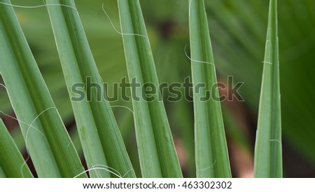 Sugar Palm Texture Leaf