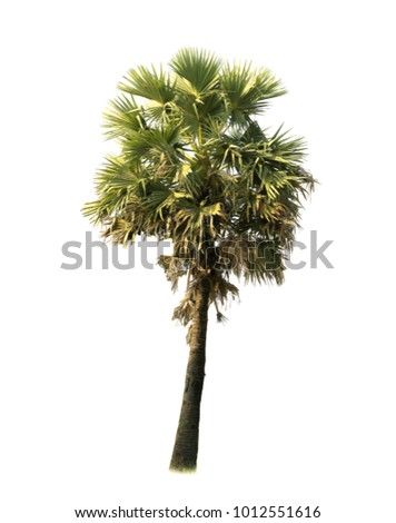 Sugar palm Tree isolate on white background