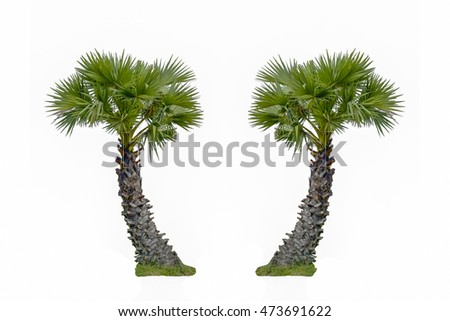 Sugar palm tree isolated on white
