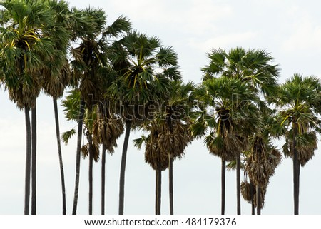 sugar palm trees