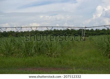 Sugarcane - stock photo