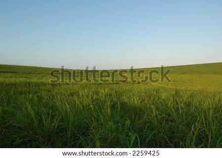 Sugarcane - stock photo